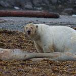 Eisbär frisst Walross © Robert Hansen. Link in die Fotogalerie