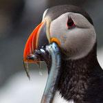 Papageientaucher © Robert Hansen. Link in die Fotogalerie