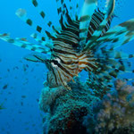 Feuerfisch © Robert Hansen. Link in die Fotogalerie