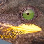 Auge eines Kormorans © Robert Hansen. Link in die Fotogalerie
