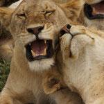 Schmusende Löwen © Robert Hansen. Link in die Fotogalerie