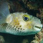Igelfisch © Robert Hansen. Link in die Fotogalerie