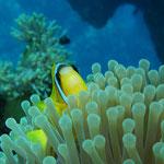 Clownfisch © Robert Hansen. Link in die Fotogalerie