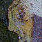 Tigre del plataner (Corythuca ciliata)i col·lèmbols (Willowsia platani)