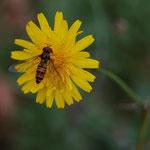 Sírfid Episyrphus blateatus