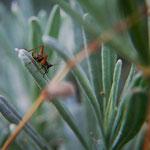 Grill cicindela (Trigonidium cicindeloides9