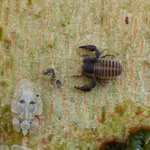 Pseudoescorpí O. aràcnids Cheilifer cancroides