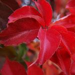 Parra verge (Parthenocissus tricuspidata)  el color rois de la tardor produït pel pigment licopé