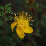 Hypericum balearicum ( flor de sant joan)