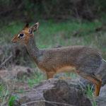 ディクディクという最も小さい種類の鹿。大人でも柴犬くらい。