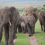 象の群れを正面からとらえます。すごい迫力!