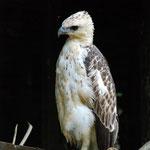 レンジャーのキャンプで飼われていた鷲。賢そうな顔をしています。