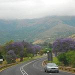 春に咲く紫の花、ジャカランダ。この花が咲く季節が、南アのベストシーズンといわれているそうです。