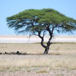 いかにもライオンがいそうな立派な木です。木陰には。。。