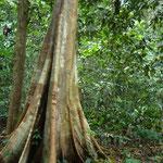 この大きな木は目印になっているみたい。ジャングル内の地図にも載っていました。