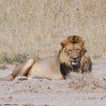 翌朝、同じ場所で。王者の風格。でも狩りはメス。オスは寝てばかりいます。