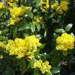 これは葉っぱがヒイラギ、花がミモザみたい。