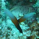 yukazoの超お気に入り、Fire Dartfish。海中ではもっと鮮やかな色でした!