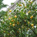 レモンだってなってます。街路樹ですよ。びっくり!