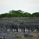朝は、様々な動物が水を飲みに来ます。