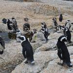 ボルダーズ・ビーチにて。のりのり撮影のペンギンさん。ペンギン愛が少ないので、みんなそっぽを向いています。