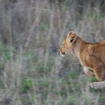 走っている子供ライオン。珍しい!