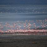 湖の端から端までフラミンゴ。ピンクのカーペットみたいです。