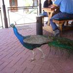 レストランにはなぜか孔雀がいました。