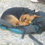 バックパッカーに飼われている犬。