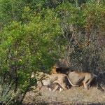 ライオンを見つけました。私たちが第1発見者でした!