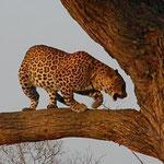 天然の豹柄はなんてきれいなんでしょう。お腹が膨らんでいるから、ハンティングの後かな?