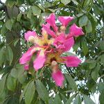 街路樹。けっこう大きな花が咲きます。