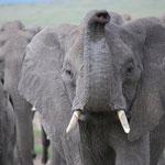 象が鼻を上に上げているときは危険なサイン。。。