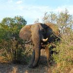 象が最接近!アフリカ象は大きいです!