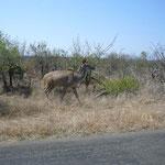 クドゥというきれいな動物。インパラと並んで、クルーガー国立公園を代表する動物です。