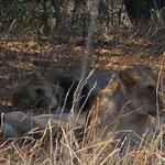 ライオンの家族が木陰でくつろいでいます。彼らを見るために道路は渋滞ですが。。。
