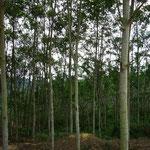 紙の原料になる木。カリマンタンは資源が豊富です。