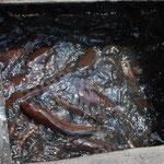 魚が1000匹も入っているそうです。大きいし跳ねるし、こわい!