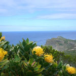 これは南アフリカの国花プロテアです。喜望峰の周辺にはたくさん咲いていて、とてもきれいです。