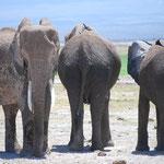 アンボセリは乾燥していてえさが少ないので、マサイ・マラに比べて象が痩せて弱っています。