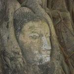 タイ/アユタヤ、ワット・マハータート。木の成長とともに現れた仏像の頭部。