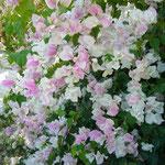 白とピンクが混ざったブーゲンビリア。Jepungさん、こーゆーのもきれいですね♪
