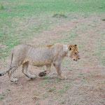 サファリ・カーのすぐ後ろを歩いて行きます。豹のような斑点のあるライオンです。