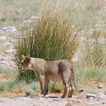 まだ草の丈よりも小さい子供ライオン。