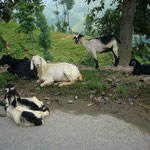 ヤギが気持ちよさそうに休んでいます。