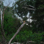 木の上に留まるカワセミ。