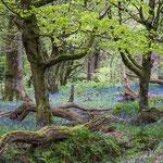 Hasenglöckchenwald in England - Foto: Matthias Wasserschaff
