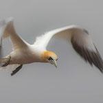 Basstölpel (Morus bassanus) - Foto: Brian Dorling