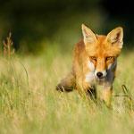 Rotfuchs (Vulpes vulpes) auf der Pirsch - Foto: Josef Fleige