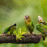 Grauwangenpapagei (Pionaopsitta haematotis) in Costa Rica, Foto: Winfried Rusch, Canon 5D, Mark IV